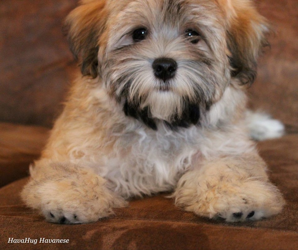 havanese puppies for sale - photo #3