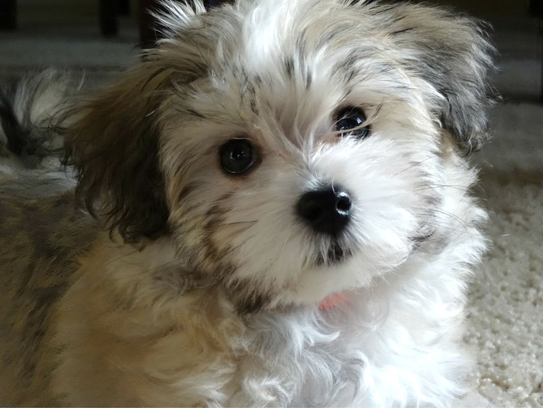 havanese puppies for sale - photo #19