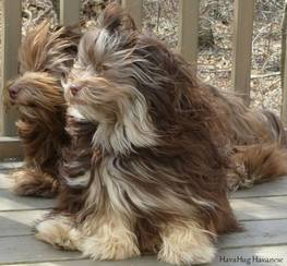 chocolate havanese dogs