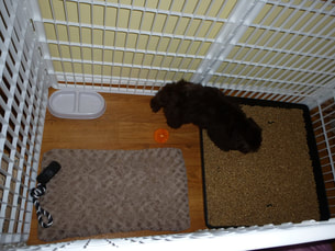 Havanese puppy expen litter box