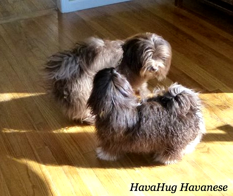 HavaHug Havanese Puppies - HavaHug Havanese Puppies of Michigan