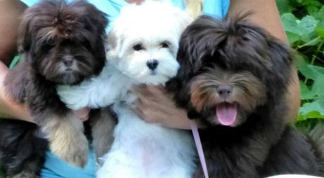 Michigan Havanese Puppies