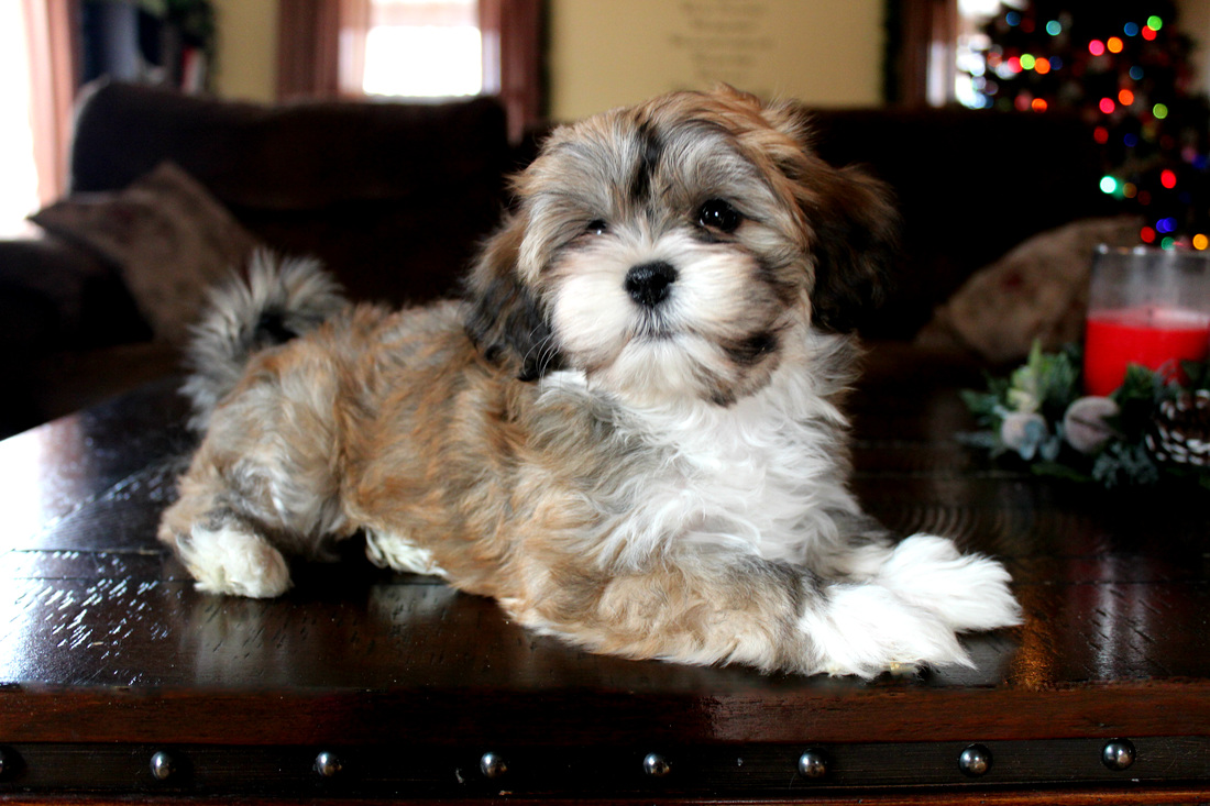 Havahug Havanese Puppies Havahug Havanese Puppies Of Michigan