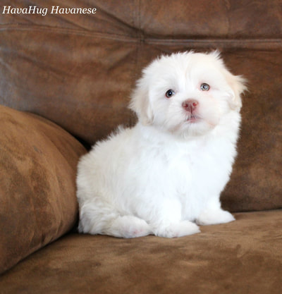 Puppies For Sale - HavaHug Havanese Puppies
