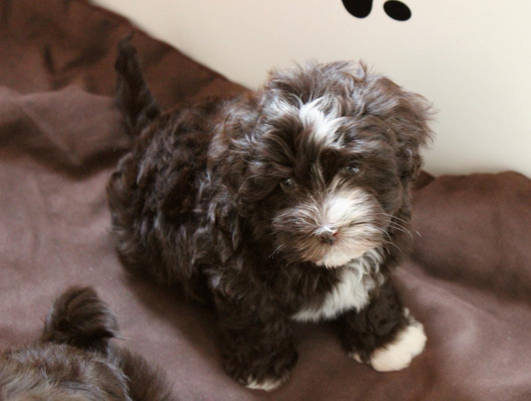 Puppies For Sale - HavaHug Havanese Puppies