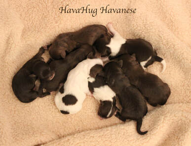 HavaHug Havanese Puppies